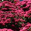 Stock Photo: Purple Mums