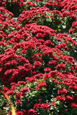 Red Mums — Stock Photo