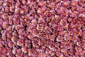 Lavender Mums — Stock Photo
