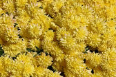 Yellow Mums — Foto Stock