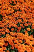 Orange Mums — Stock Photo