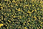 Gelbe angehende mütter — Stockfoto