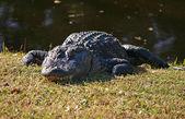 Alligator 2 — Stock Photo