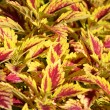 Coleus Plant — Stock Photo #34497461