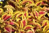 Coleus Plant — Stock Photo