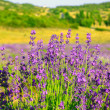 Lavender field in the summer — Stock Photo #21251097