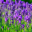 Lavender field in the summer — Stock Photo #21251115
