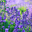 Lavender field in the summer — Stock Photo #21251327