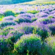 Lavender field in the summer — Stock Photo #21251481