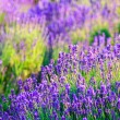 Lavender field in the summer — Stock Photo #21251645