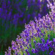 Lavender field in the summer — Foto de Stock