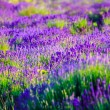 Lavender field in the summer — Stock Photo #21252143