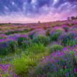 Sunset over a summer lavender field in Tihany, Hungary — Stock Photo #21252435