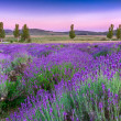 Sunset over summer lavender field in Tihany, Hungary — Stok Fotoğraf #21252633