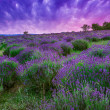 Stock Photo: Sunset over summer lavender field in Tihany, Hungary