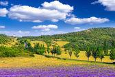 сиреневое поле в летнее время — Стоковое фото