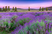 Sunset over a summer lavender field in Tihany, Hungary — Foto Stock