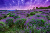 Sunset over a summer lavender field in Tihany, Hungary — Stockfoto
