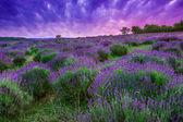 Zachód słońca nad polem lato lawenda w tihany, węgry — Zdjęcie stockowe