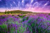 Pôr do sol sobre um campo de lavanda de verão em tihany, hungria — Foto Stock