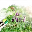 Artist brush painting picture of beautiful Pulsatilla - Стоковая фотография