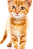 Gatito rojo — Foto de Stock