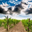 Stock Photo: Vineyard landscape in Hungary