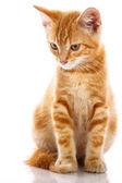 Gato pequeno vermelho — Foto Stock