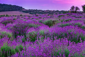 Lavender field in summer — Stock fotografie