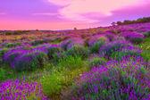 сиреневое поле летом — Стоковое фото