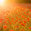 Poppies field at sunset — Stock Photo #48116963