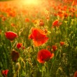 Poppies field at sunset — Stock Photo #48116989