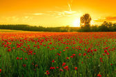 Poppies field at sunset — Stock Photo