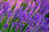 Lavender field in Tihany, Hungary — Stock Photo