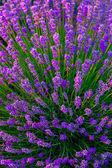 Lavender field in Tihany, Hungary — Stock Photo