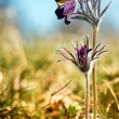 Black Pulsatilla flowers on the meadow — Stock Photo