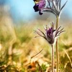 Black Pulsatilla flowers on the meadow — Stock Photo #21151481