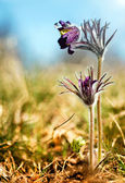 Black Pulsatilla flowers on the meadow — Foto de Stock
