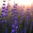 Beautiful detail of a lavender field — Stock Photo