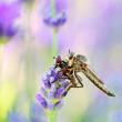 Robber fly with victim — Stock Photo #27165809