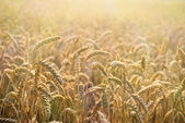 Beautiful detail of wheat field — Stock Photo