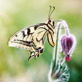 Butterfly on a spring flower — Stock Photo