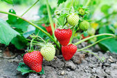 Strawberry plants — Stock Photo