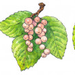Постер, плакат: Watercolor painting of a set of fruit: currant
