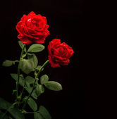 Red roses on black background — Stock Photo
