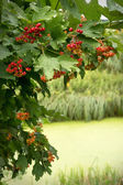 Viburnum branch with red berries over the river — Stock Photo