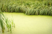 Natural background of overgrown with duckweed pond fringed with — Stock Photo
