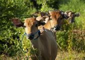 Curios cow — Stock Photo