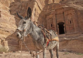 Donkey in Petra — Stock Photo