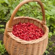 Basket of wild strawberry — Stock Photo